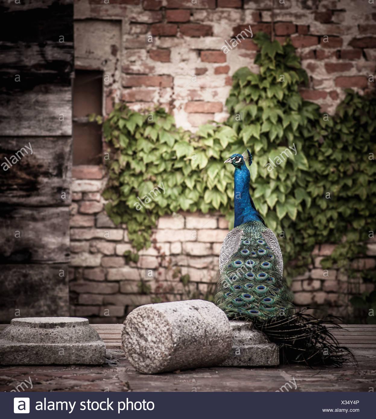Peacock sitting on concrete platform - Stock Image