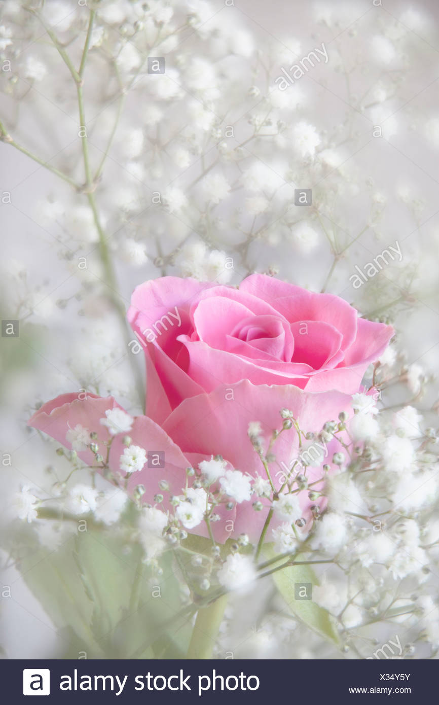 Pale Pink Rose Stock Photos Pale Pink Rose Stock Images Alamy