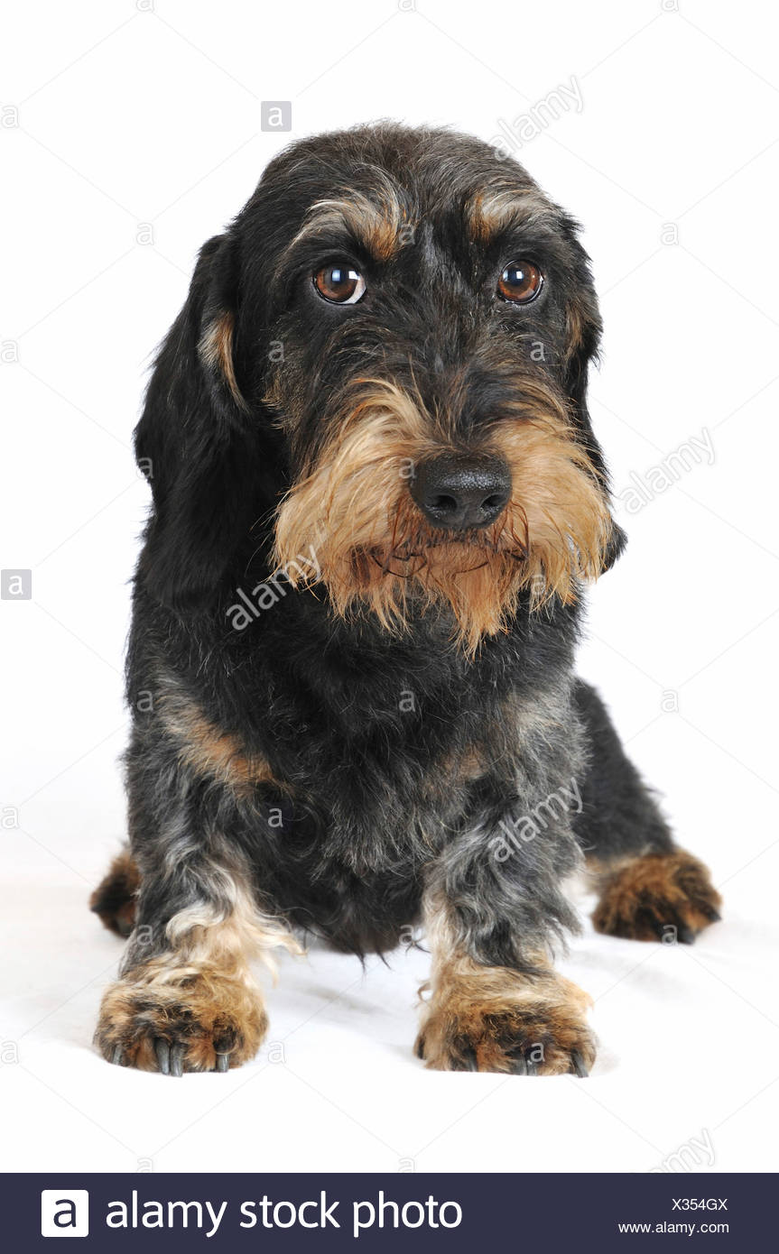 Wire-haired Dachshund, Wire-haired sausage dog, domestic dog (Canis lupus f. familiaris), front view, Germany Stock Photo