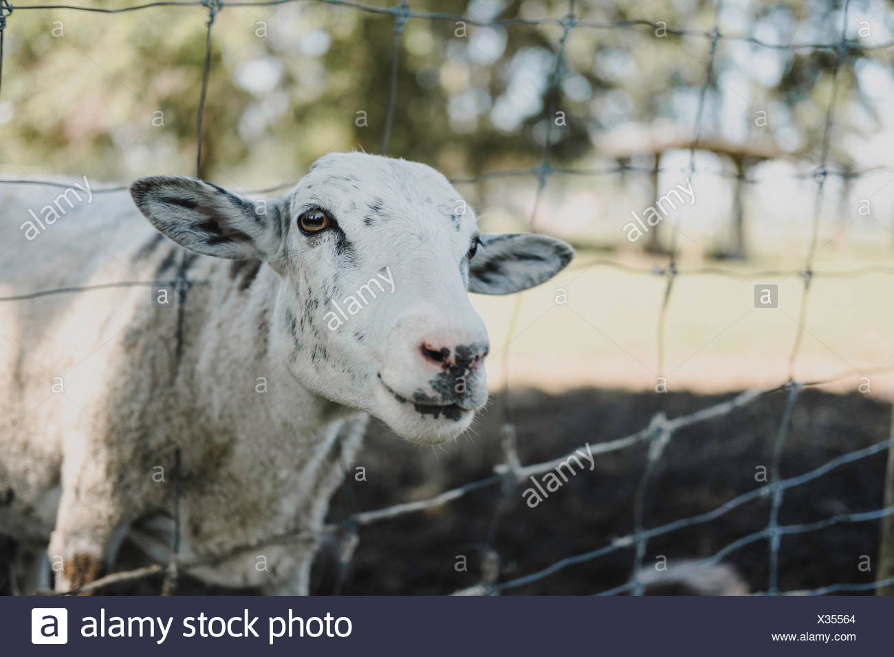 Portrait of sheep looking out from wire fence - Stock Image