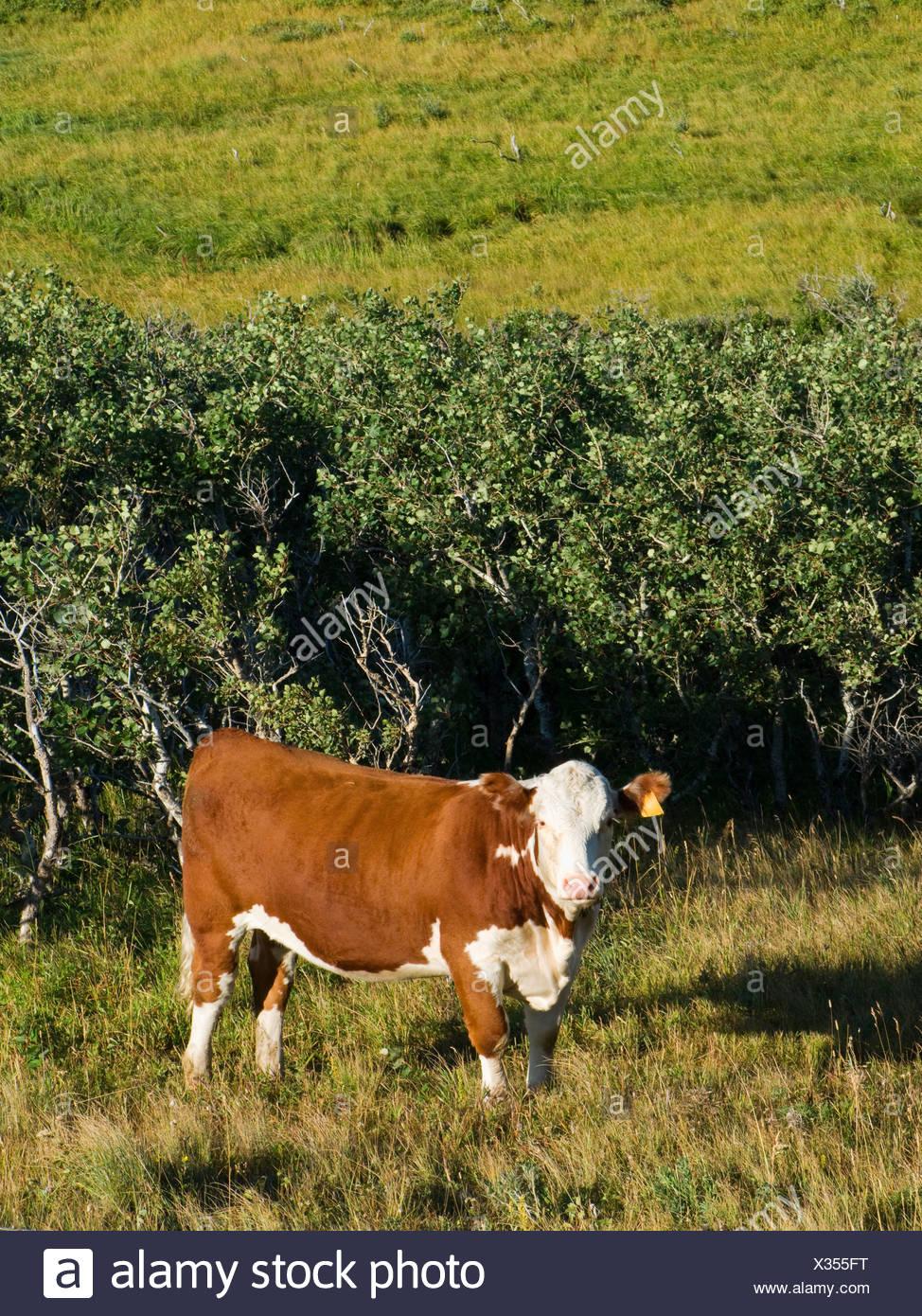 Livestock - Hereford heifer on native mountain rangeland / Alberta, Canada. - Stock Image