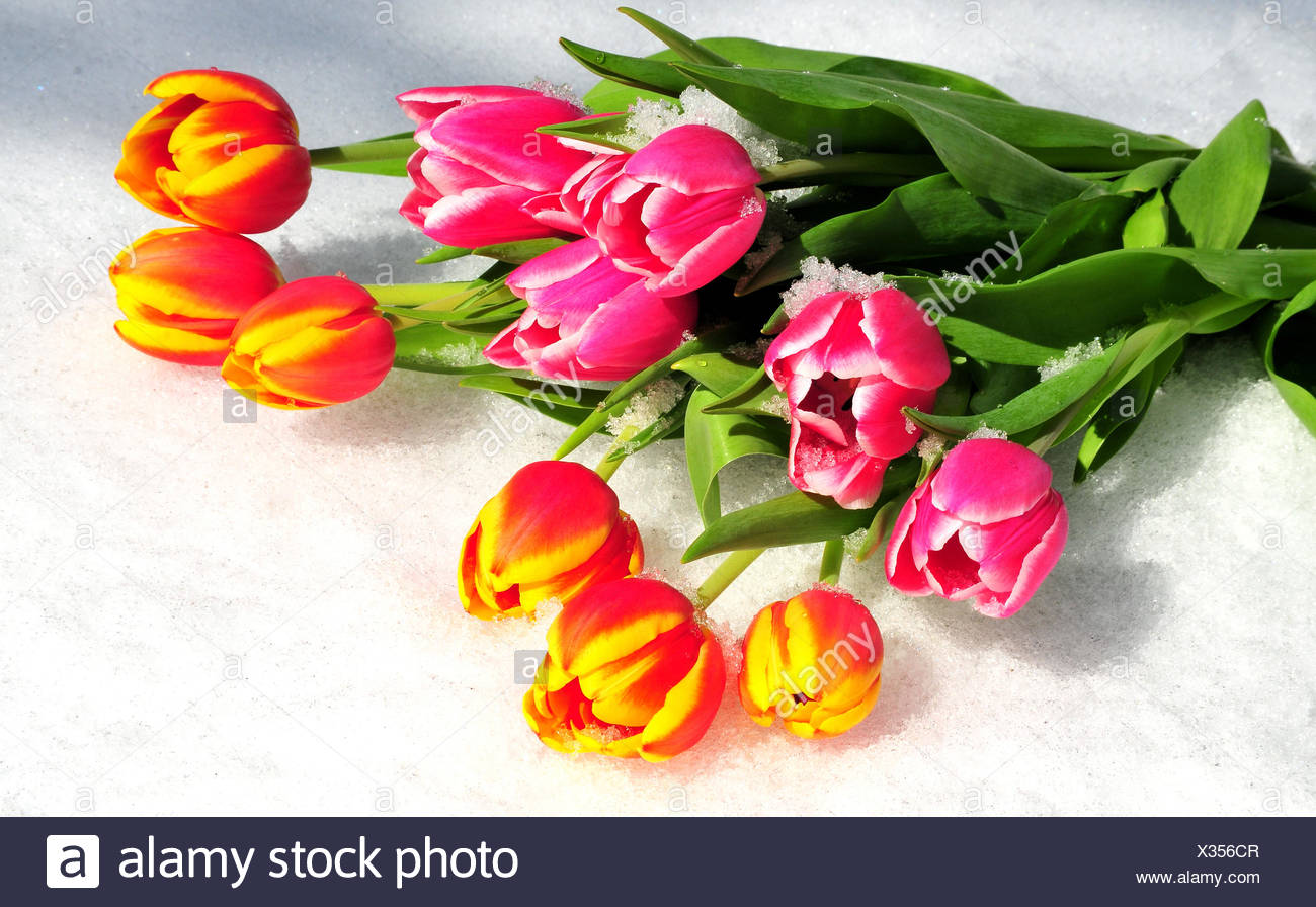 Tulips Spring Flowers In Snow Stock Photos Tulips Spring Flowers