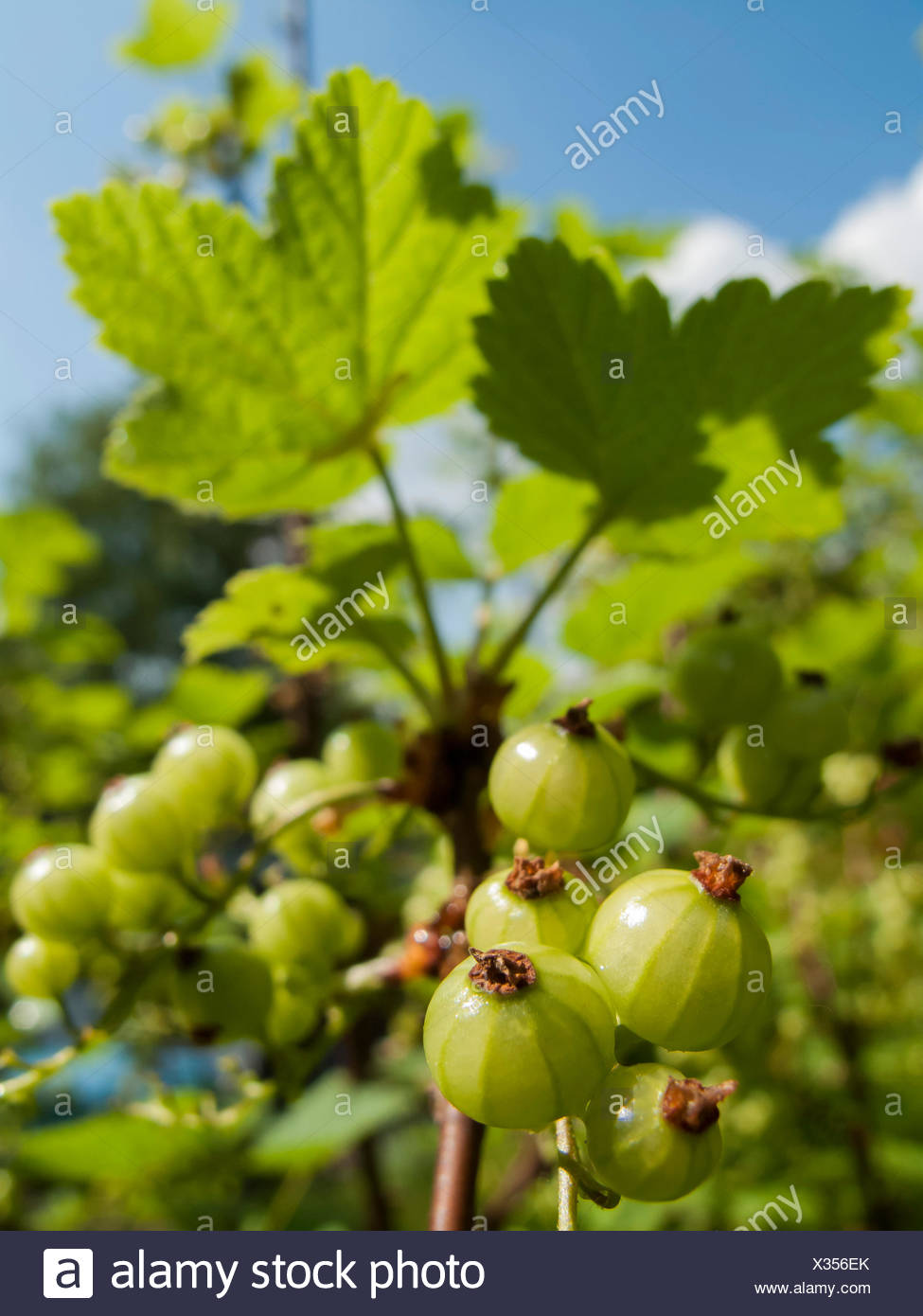 Rote Johannisbeere (Ribes rubrum), unreife Fruechte am Strauch, Deutschland   northern red currant (Ribes rubrum), immature frui Stock Photo