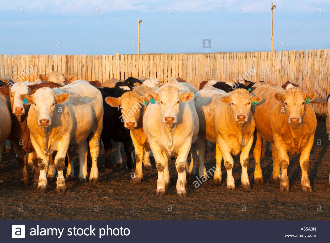 Livestock - Crossbred beef cattle in a feedlot pen at sunset / Alberta, Canada. Stock Photo
