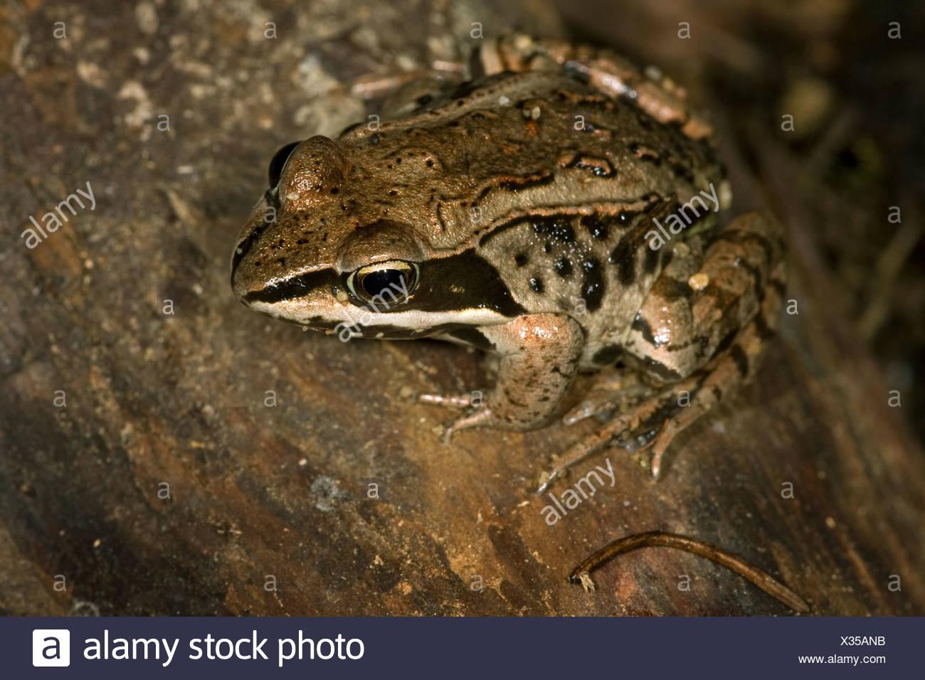 Wood frog (Rana sylvatica) (captive), Scout Island Nature Centre, Williams Lake, British Columbia, Canada. - Stock Image