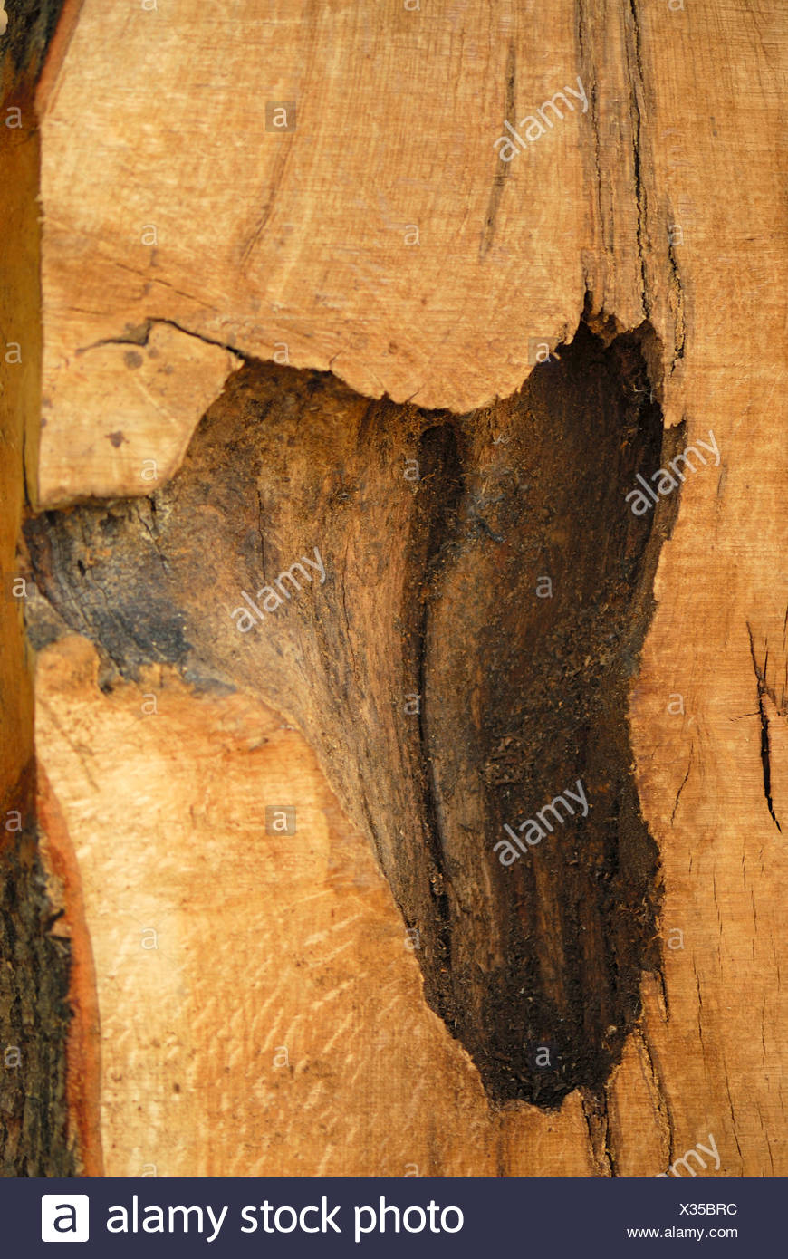 woodpeckers, wrynecks, piculets (Picidae), cross section of a tree trunk with woodpecker cavity, Germany - Stock Image
