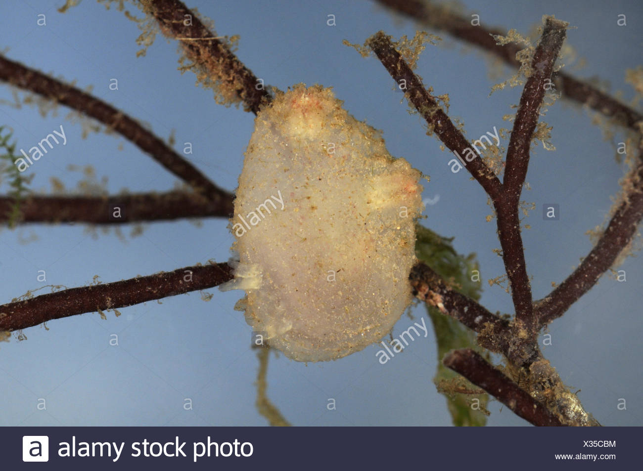 Sea Squirt - Ascidiella aspersa - Stock Image