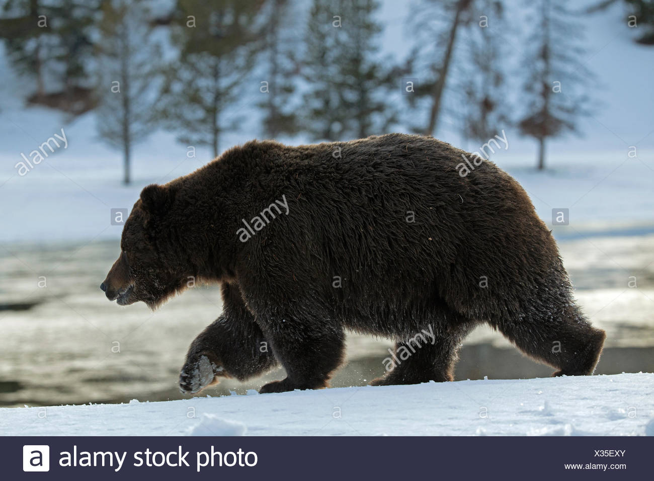 A grizzly bear, Ursus arctos horribilis, on the move in Yellowstone National Park. - Stock Image