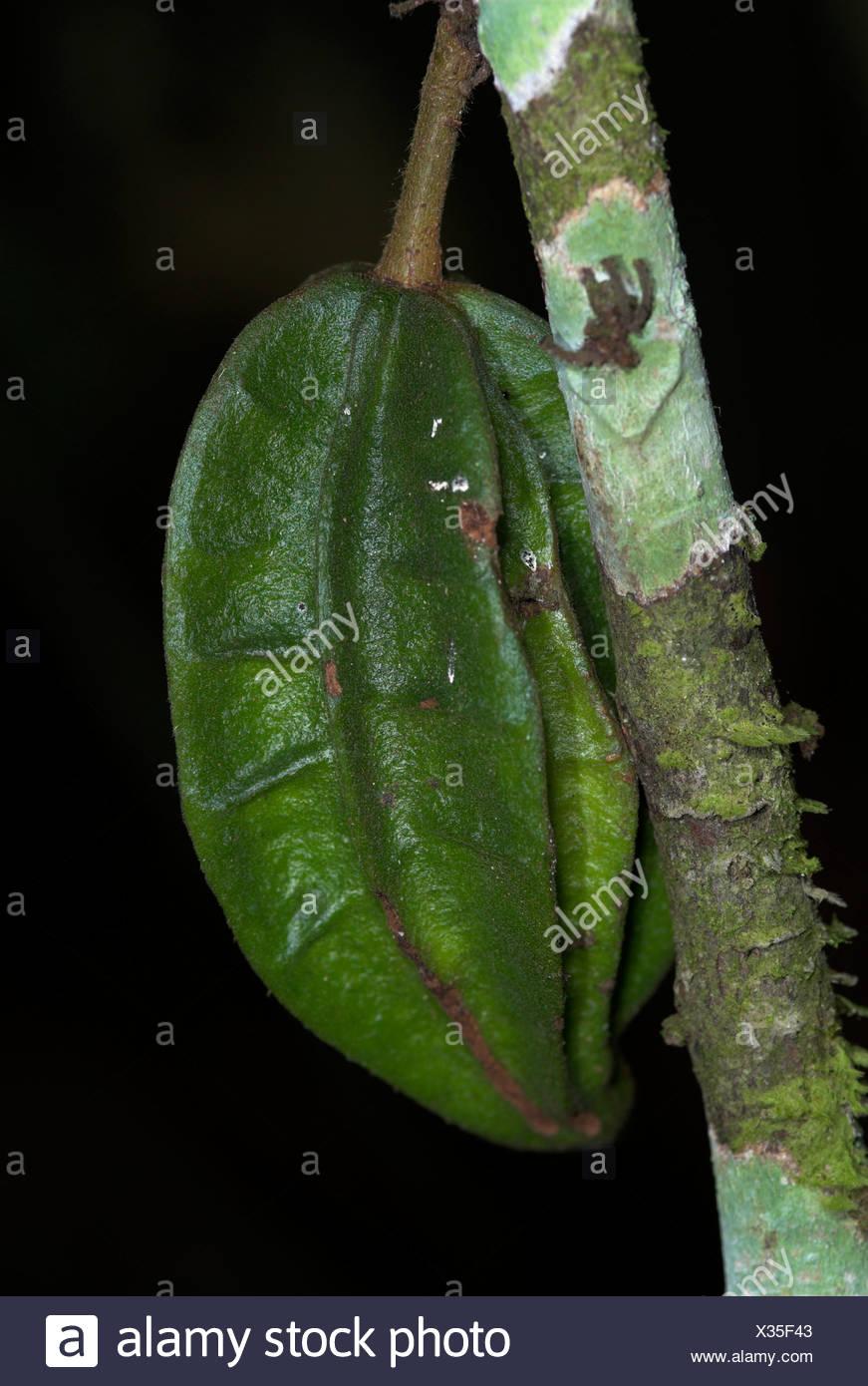 Cocoa pod Theribroma cacoa cauliflorous unripe fruit on tree Iquitos Peru Stock Photo