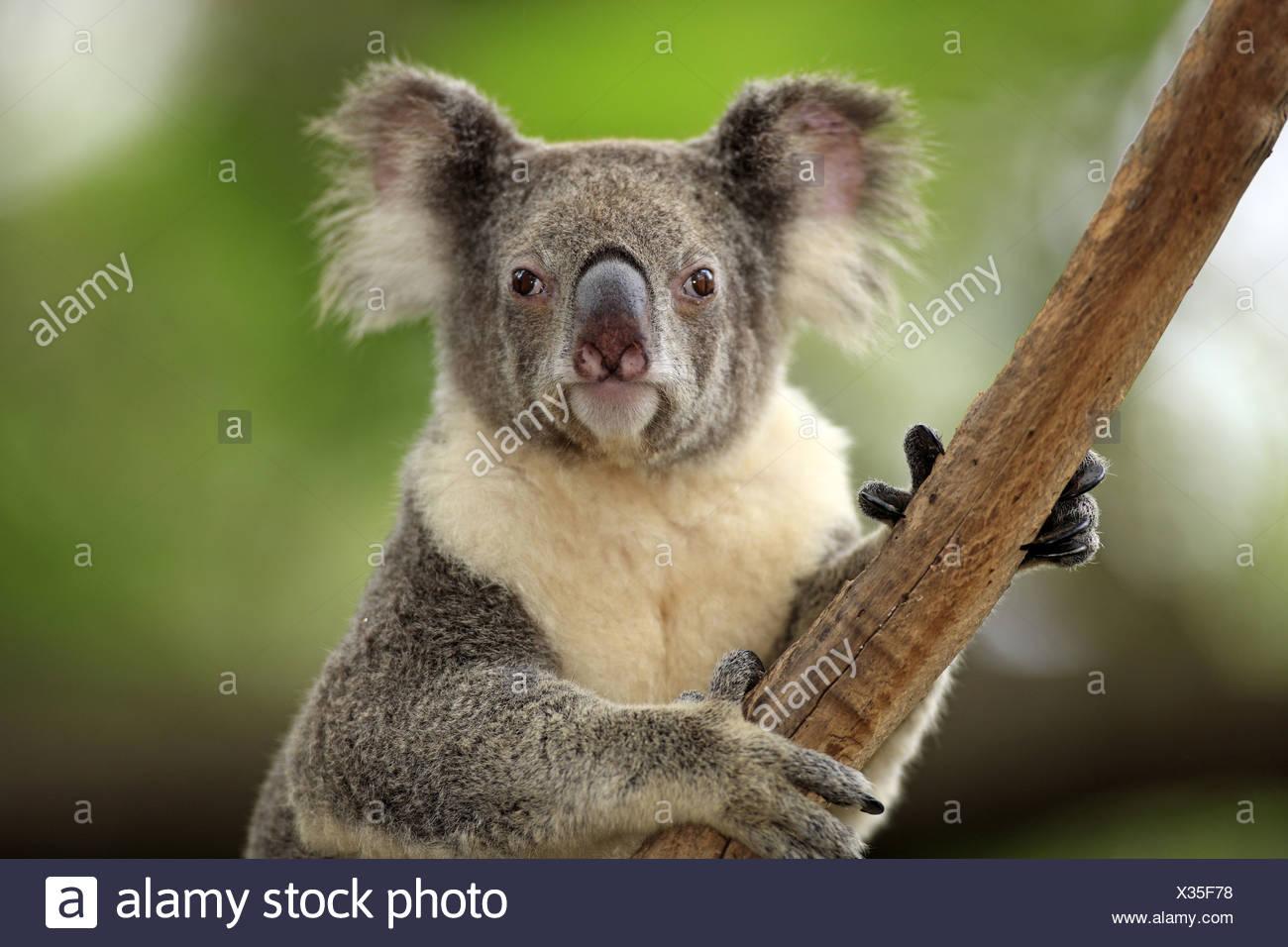 auf Baum - on tree Portrait - close up koala koalas