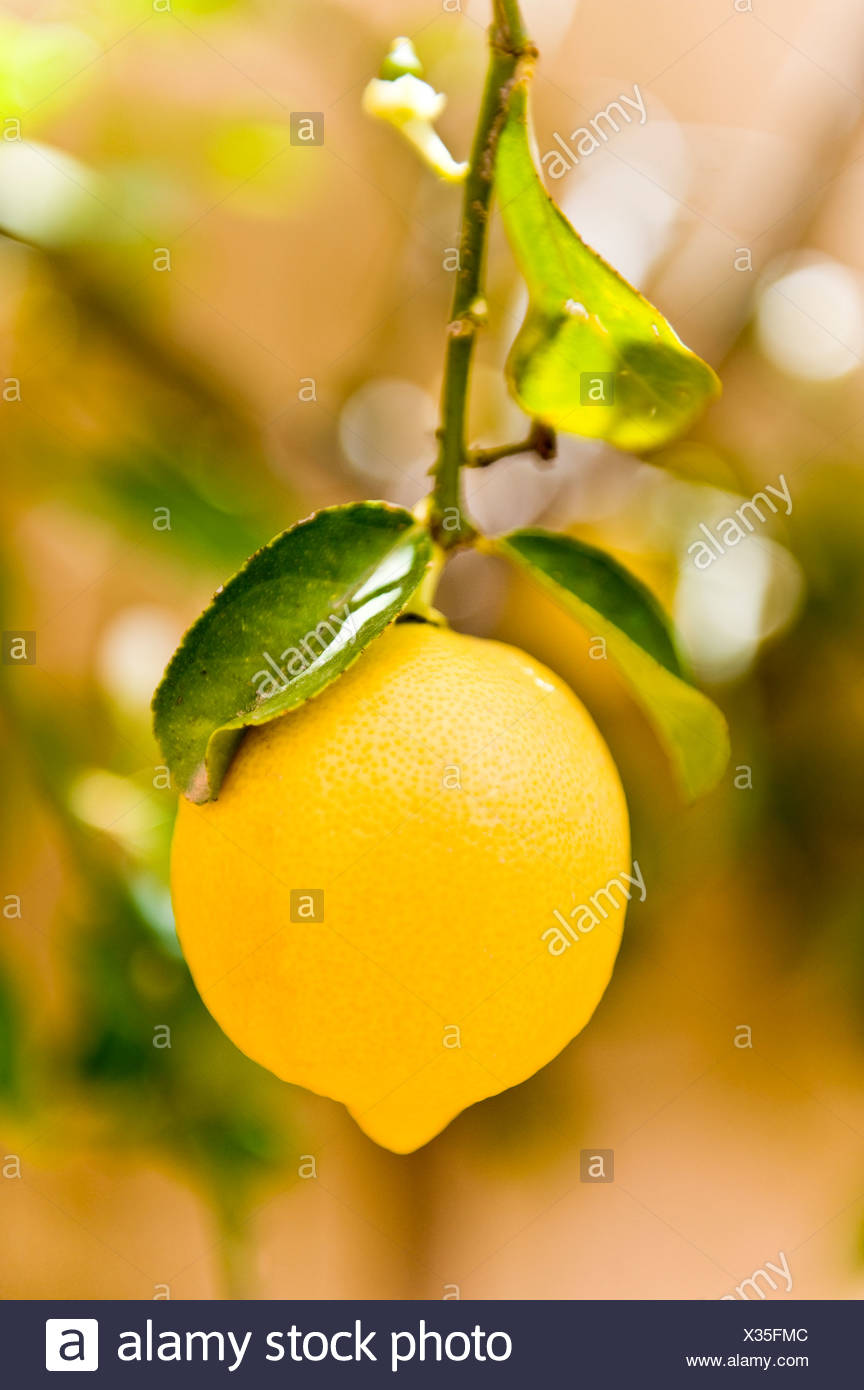 Close-up of a fresh lemon against blurred background - Stock Image