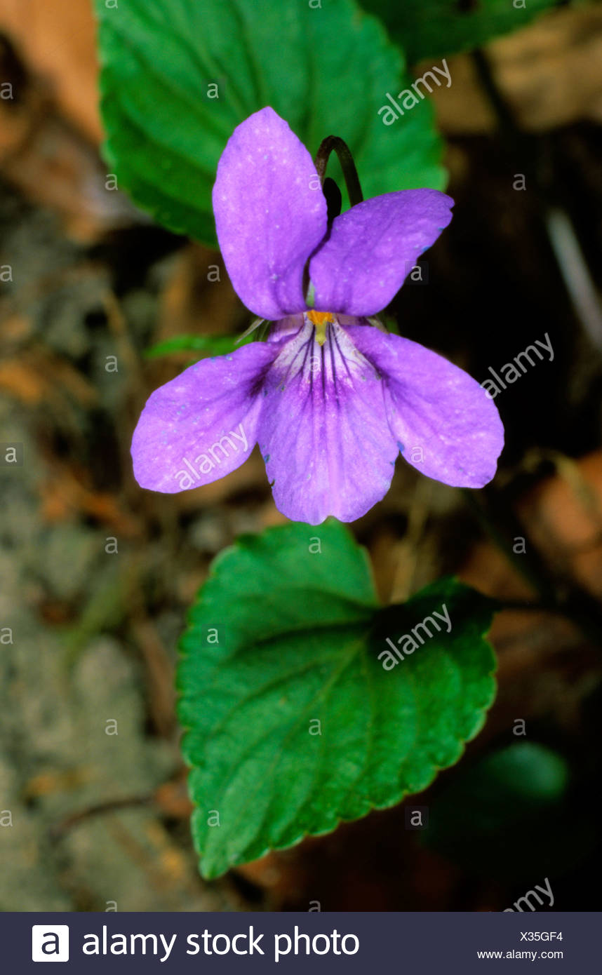 Early-dog Violet or Slender Wood Violet (Viola reichenbachiana), Violacaea family - Stock Image