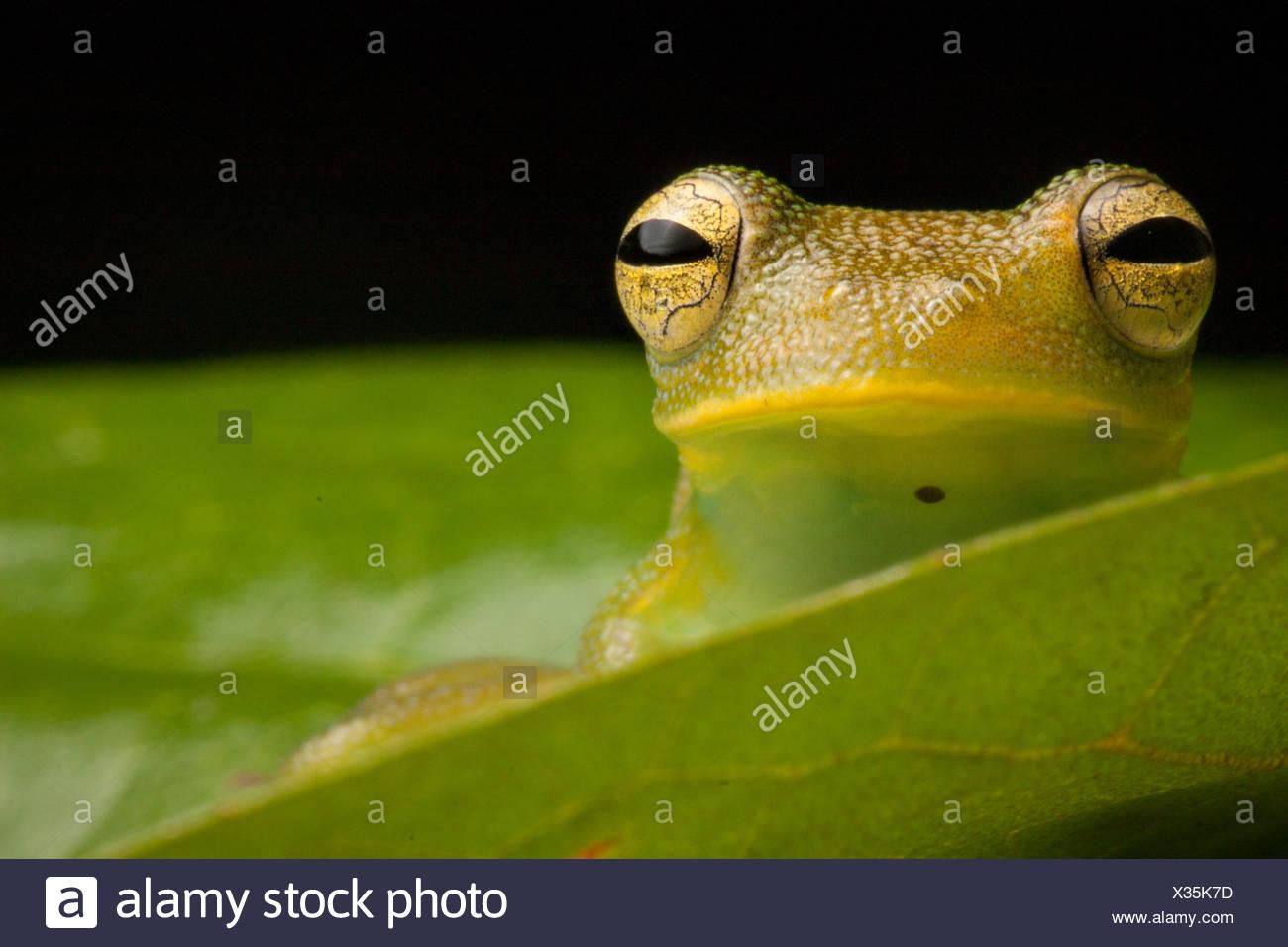 Portrait of a granular glass frog, Cochranella granulosa. - Stock Image