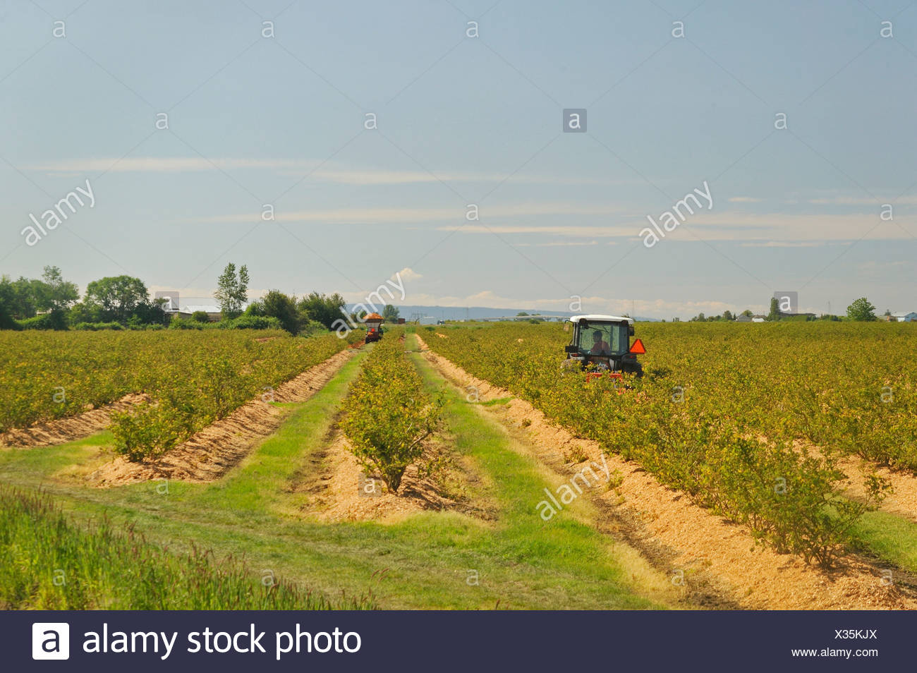 blueberry farm on River Road near Ladner, South Delta, British Columbia, Canada - Stock Image