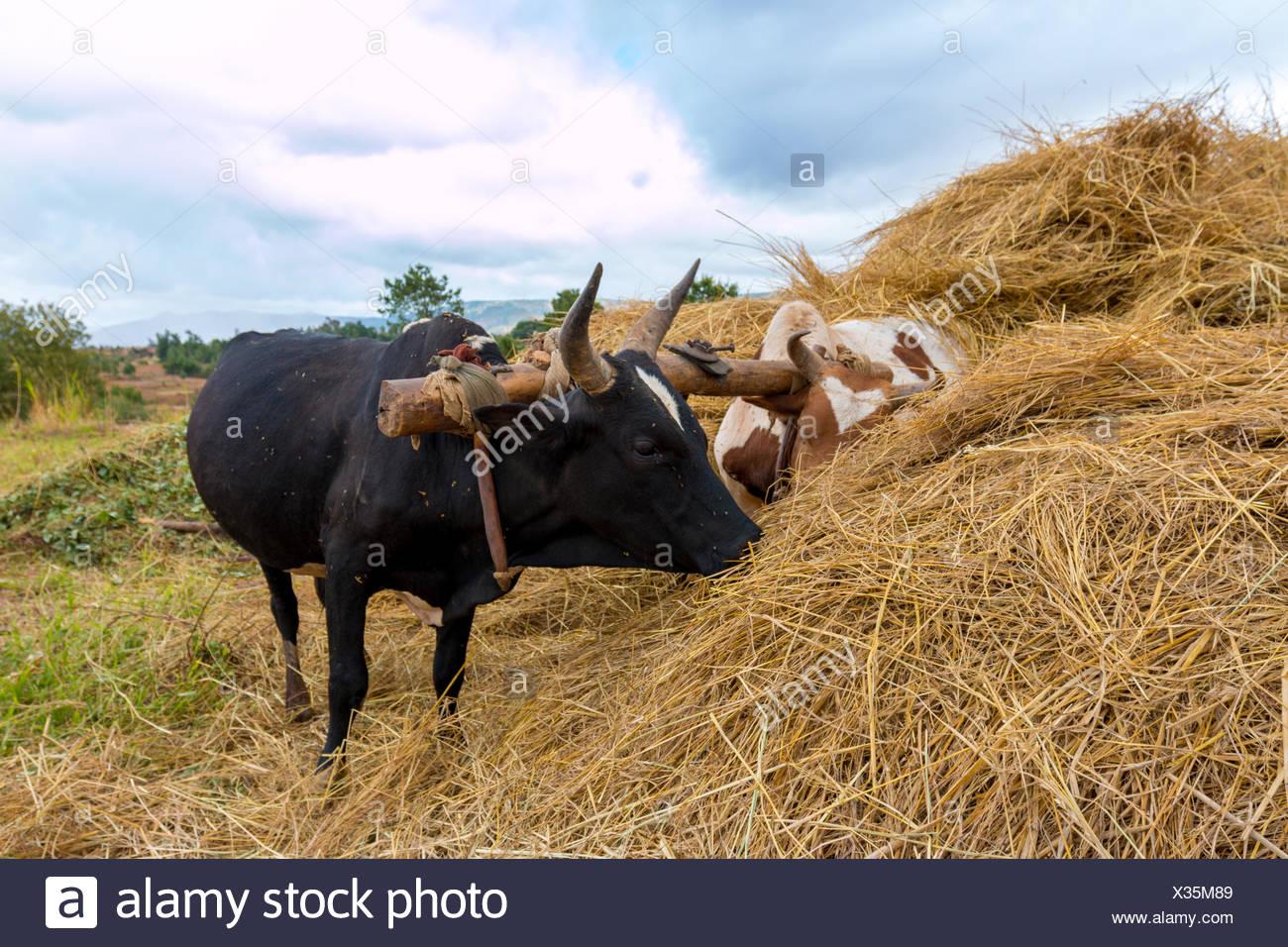 Yoke of oxen - Stock Image