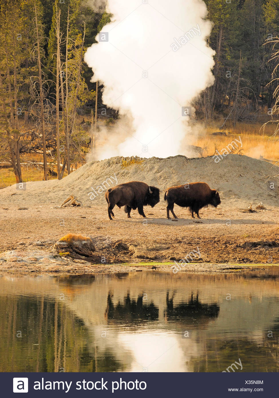 American bison, buffalo (Bison bison), buffalos in front of hot springs, USA, Wyoming, Yellowstone National Park, West Thumb Geysir Basin - Stock Image
