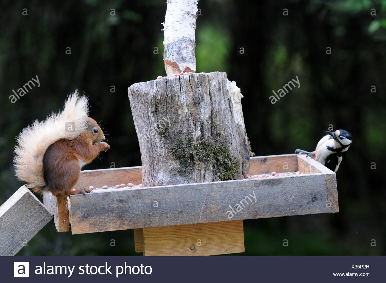 Great-spotted woodpecker (Dendrocopus major) and red squirrel (Sciurus vulgaris) feeding from bird table. - Stock Image