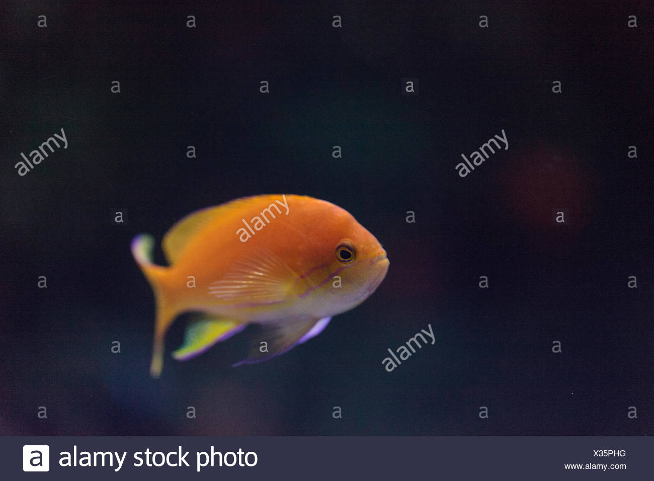 Lyretail fairy basslet fish - Stock Image