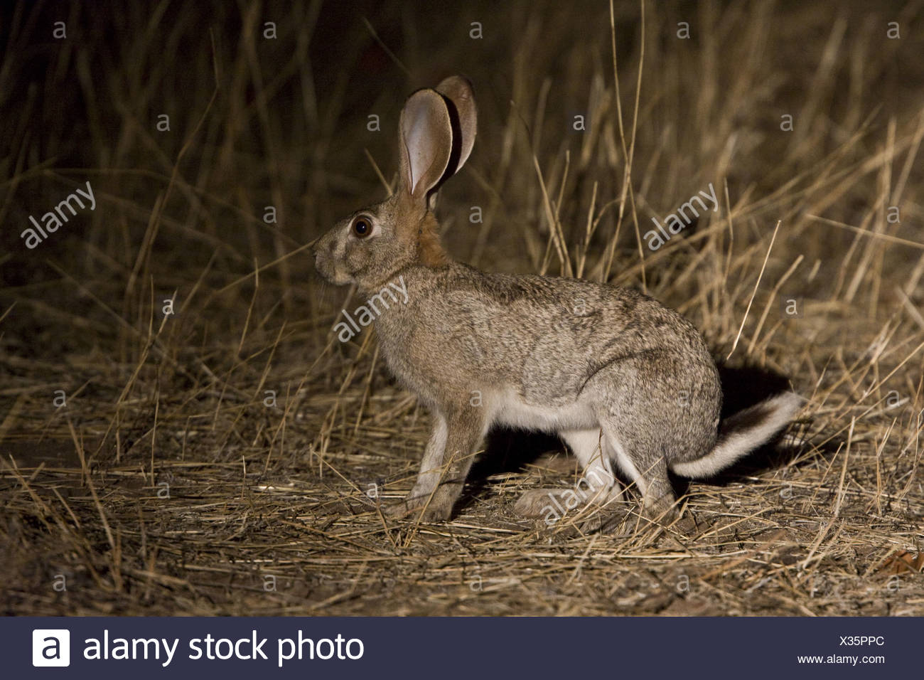 Scrub hare photographed with spot light - Stock Image