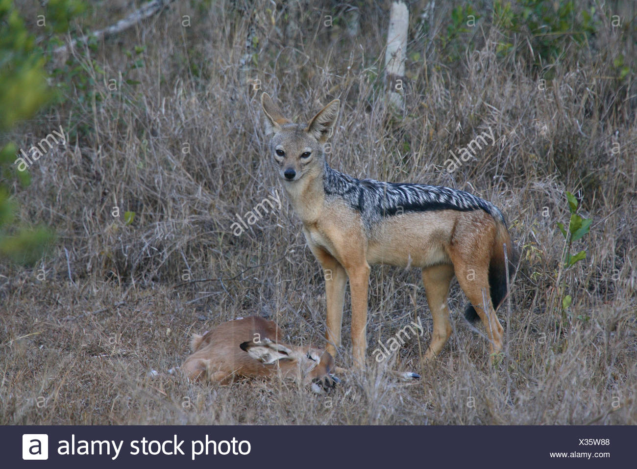 Schabrackenschakal Canis mesomelas loot gazelle Africa Kenya wildlife wilderness Wildlife animal game-animal mammal carnivore - Stock Image