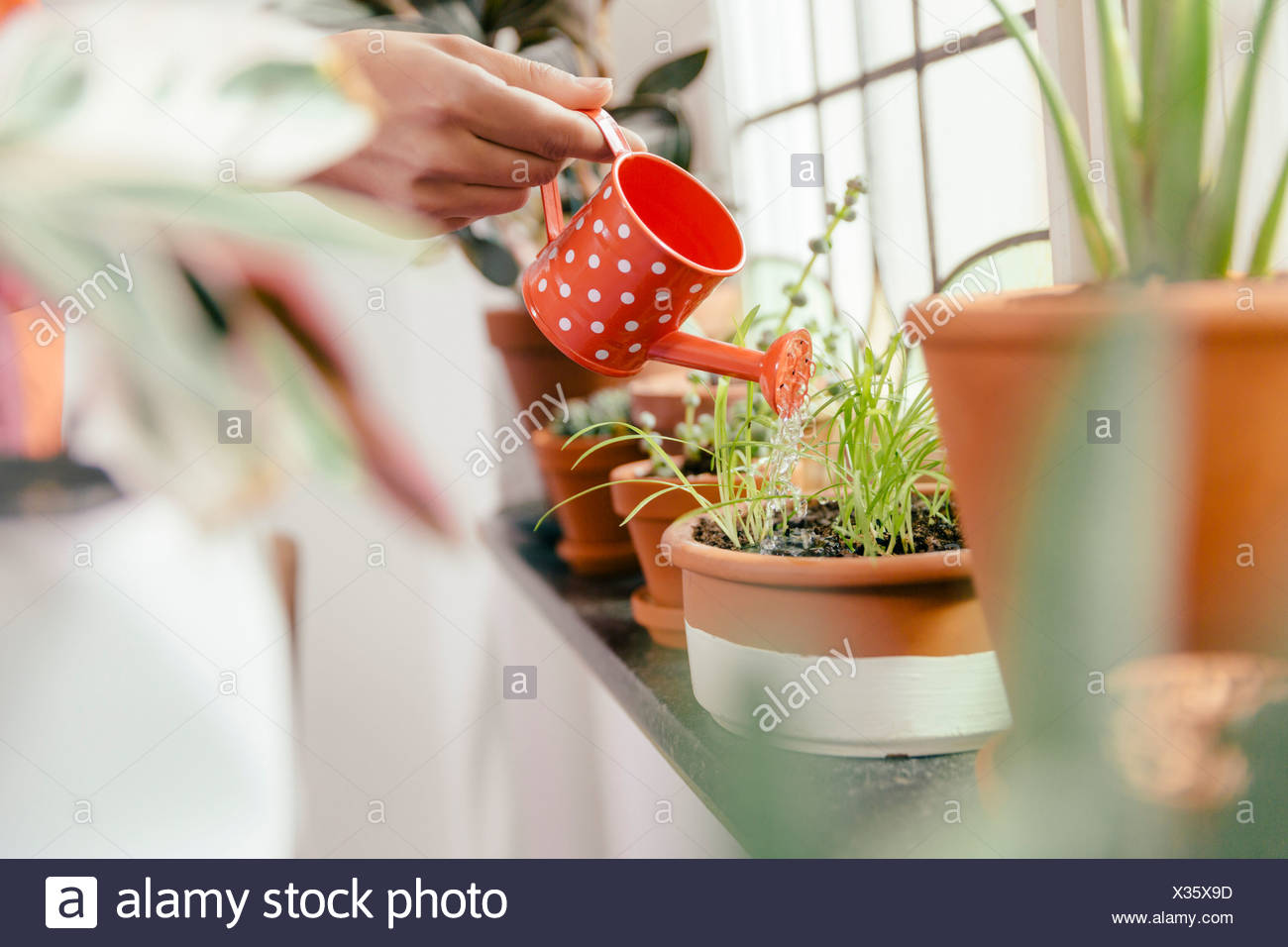 Female hand watering plant on window sill with a tiny watering can - Stock Image