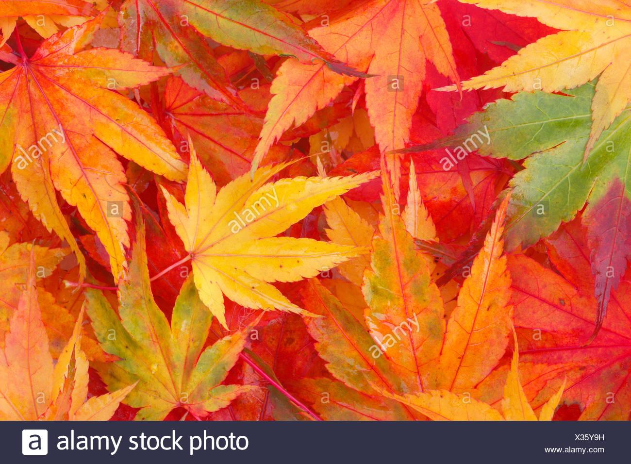 Maple Leaf Leaves Detail Autumn Colors Autumn Foliage Autumn Discoloration Foliage Macro Pattern Concepts Close Up Stock Photo Alamy