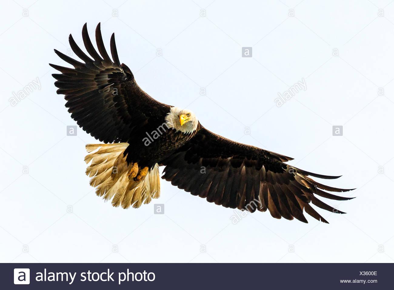 Bald Eagle, Haliaeetus leucocephalus, fishing along the shoreline in Cook Inlet, Alaska. - Stock Image