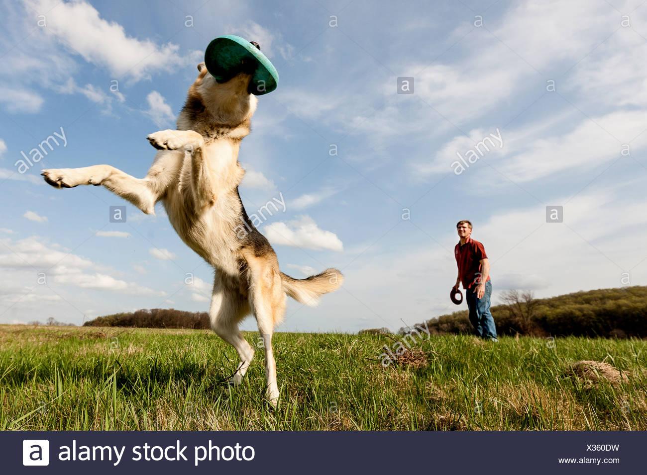 Alsatian dog catching frisbee - Stock Image