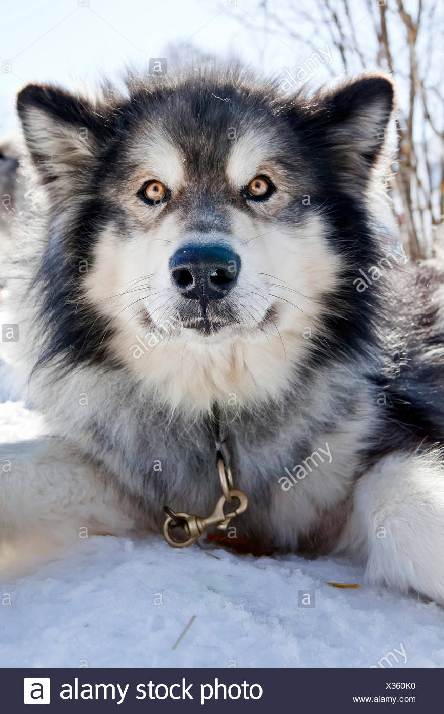 Sledge dog, Alaskan Malamute, portrait - Stock Image