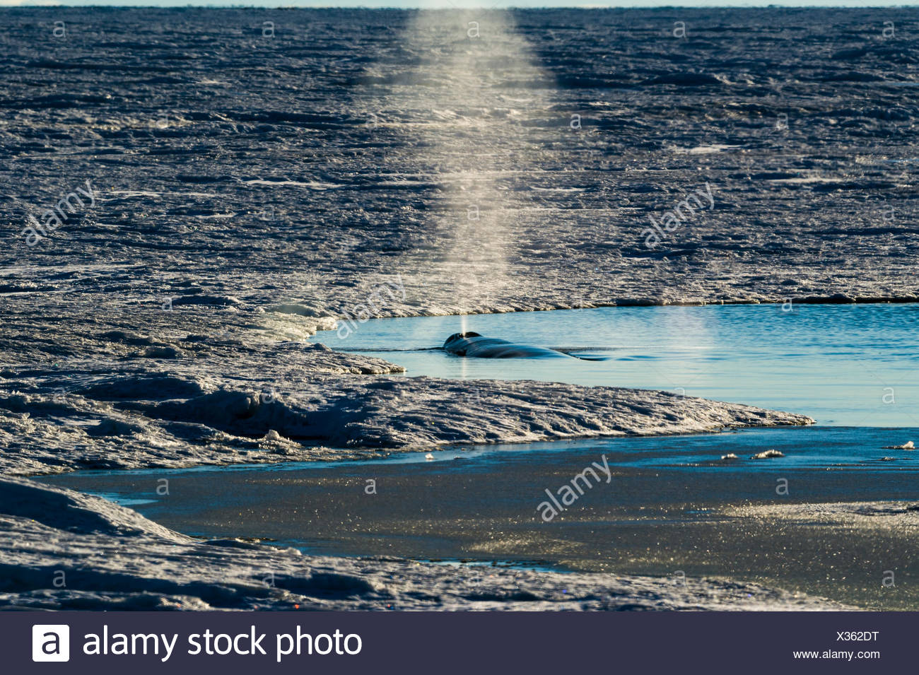 A Minke Whale surfaces in a hole in the sea ice to breathe. Stock Photo