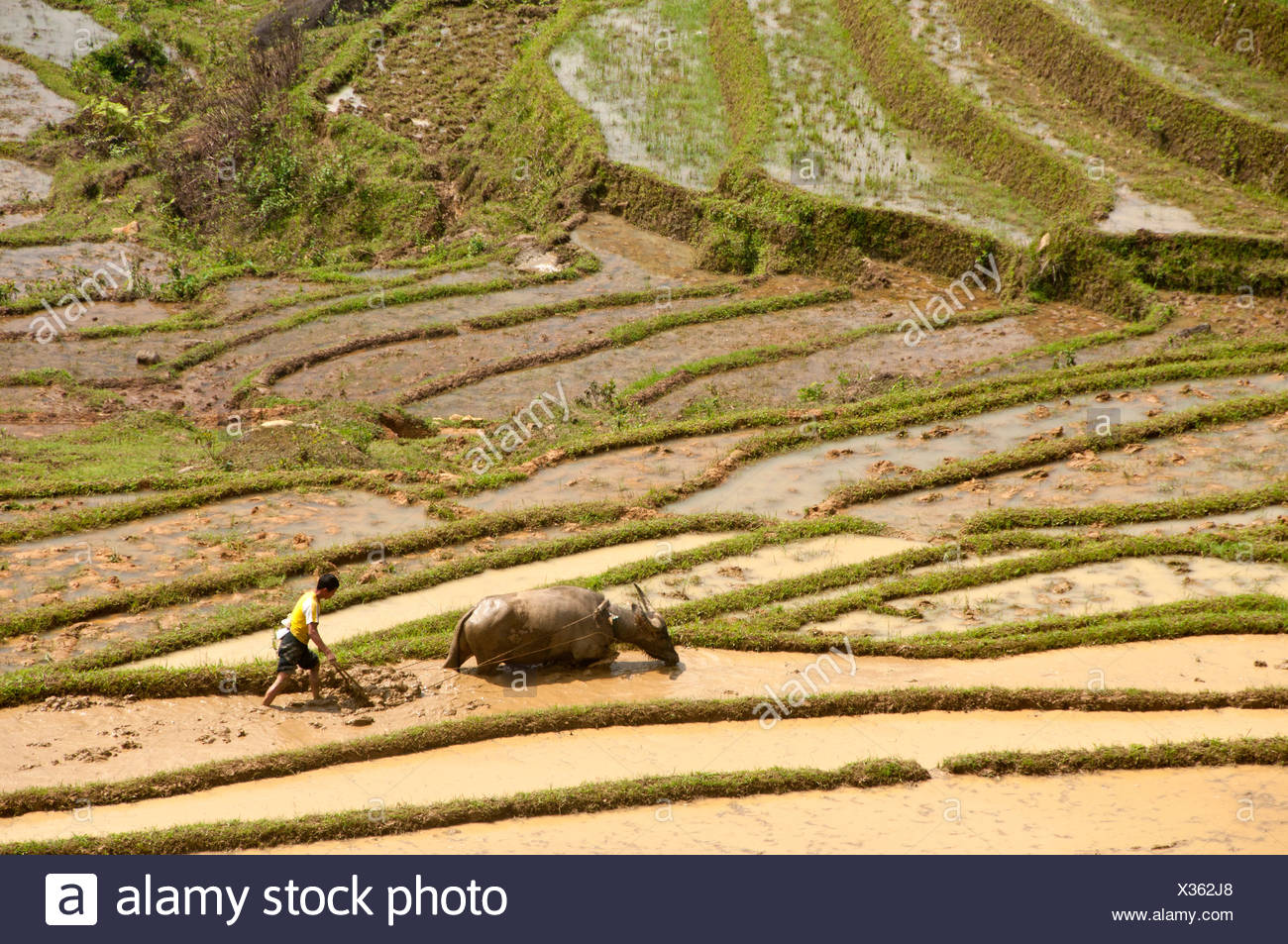Rice field, terracing, Sapa, Northern Vietnam, Vietnam, Asia, rice, agriculture, farmer, rice, plants, farming, cattle - Stock Image
