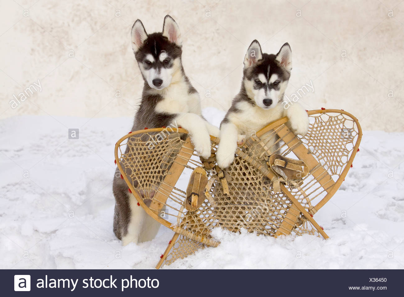A pair of Siberian husky pup leans over a pair of crossed wooden snowshoes during Winter, Alaska - Stock Image
