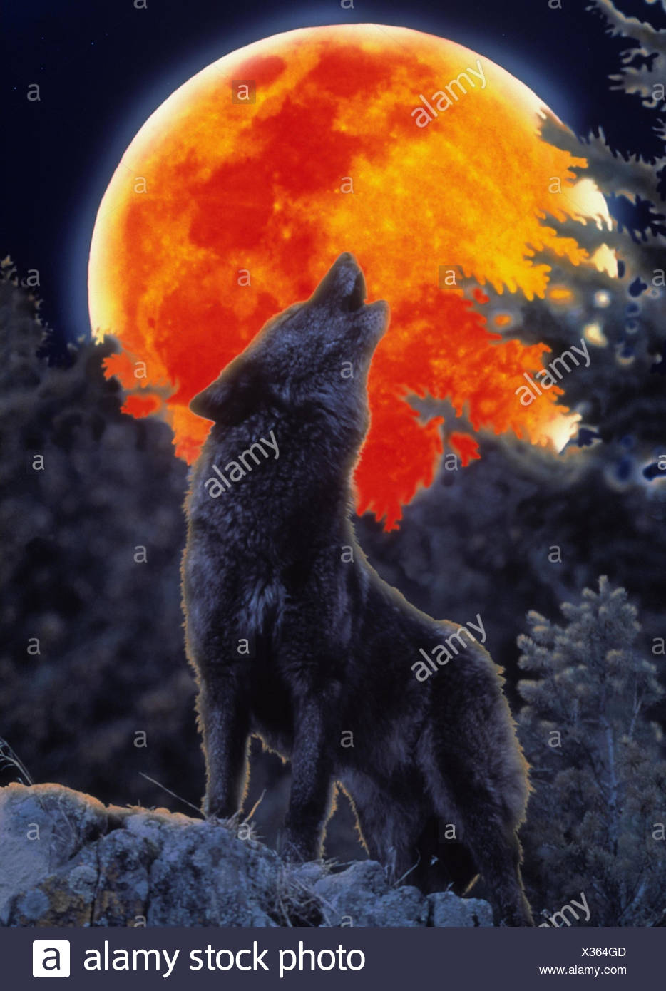 Grey Wolf Howl Stock Photos & Grey Wolf Howl Stock Images ...  Grey Wolf Howl ...