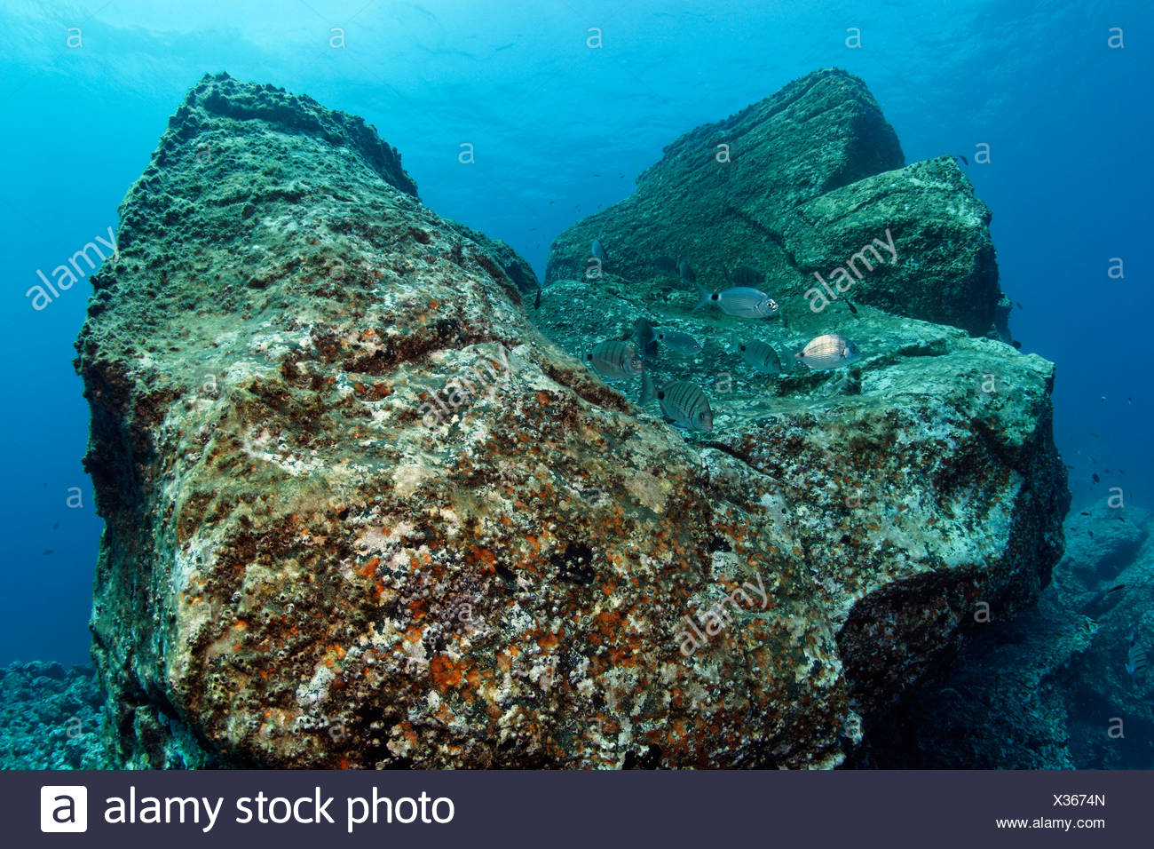 Rock with Acorn Barnacles (Balanus trigonus) and African White Seabream or Sargo (Diplodus sargus cadenati), Madeira, Portugal Stock Photo