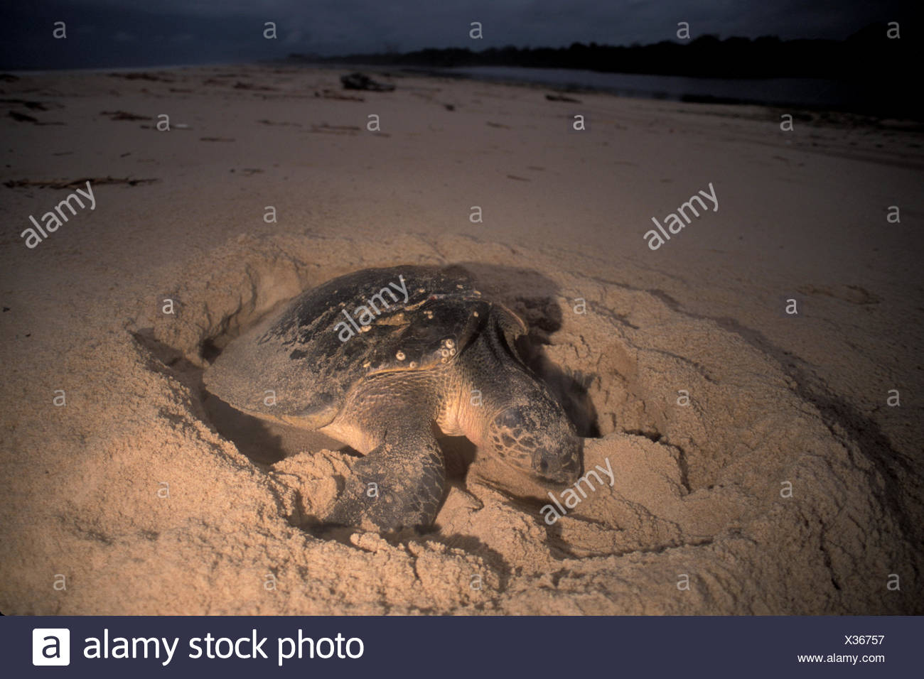 An Olive ridley sea turtle, Lepidochelys olivacea, on the beach. - Stock Image