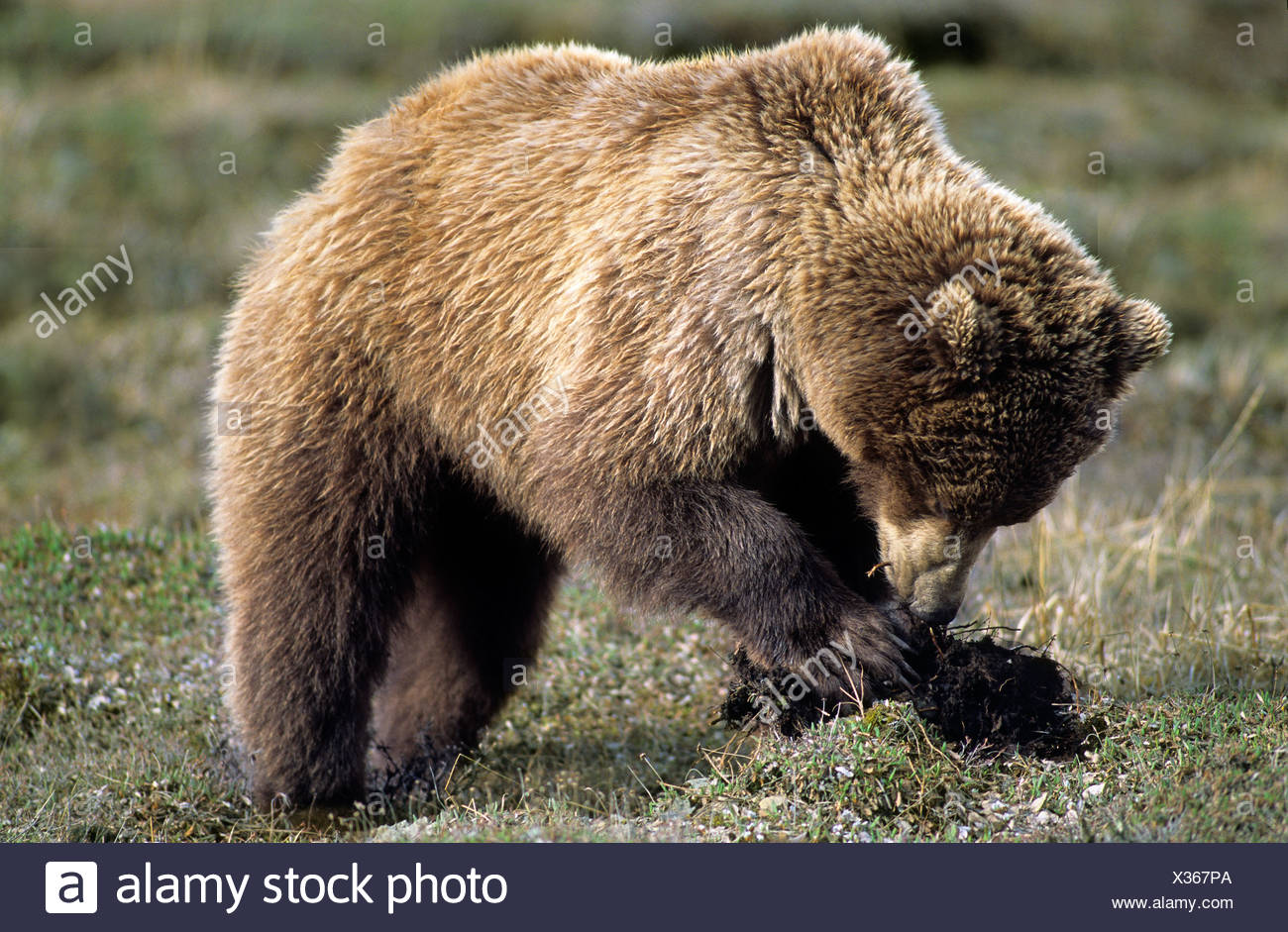 Brown bear (Ursus arctos) digging for the nutritious roots of tundra wildflowers, northern Yukon, Arctic Canada - Stock Image