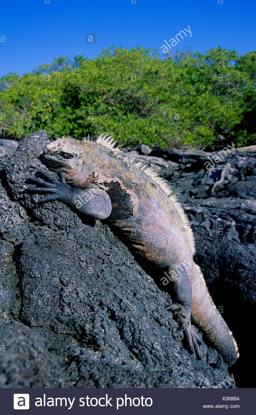 Marine iguana (Amblyrhynchus cristatus) basking in the morning sun, Fernandina Island, Galapagos Archipelago, Ecuador - Stock Image