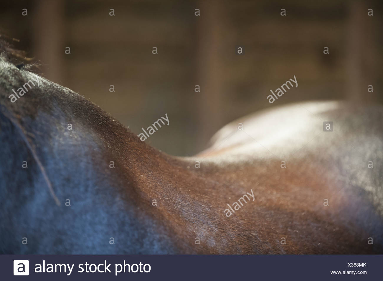 A bay horse The neck withers and curve of the back  England - Stock Image