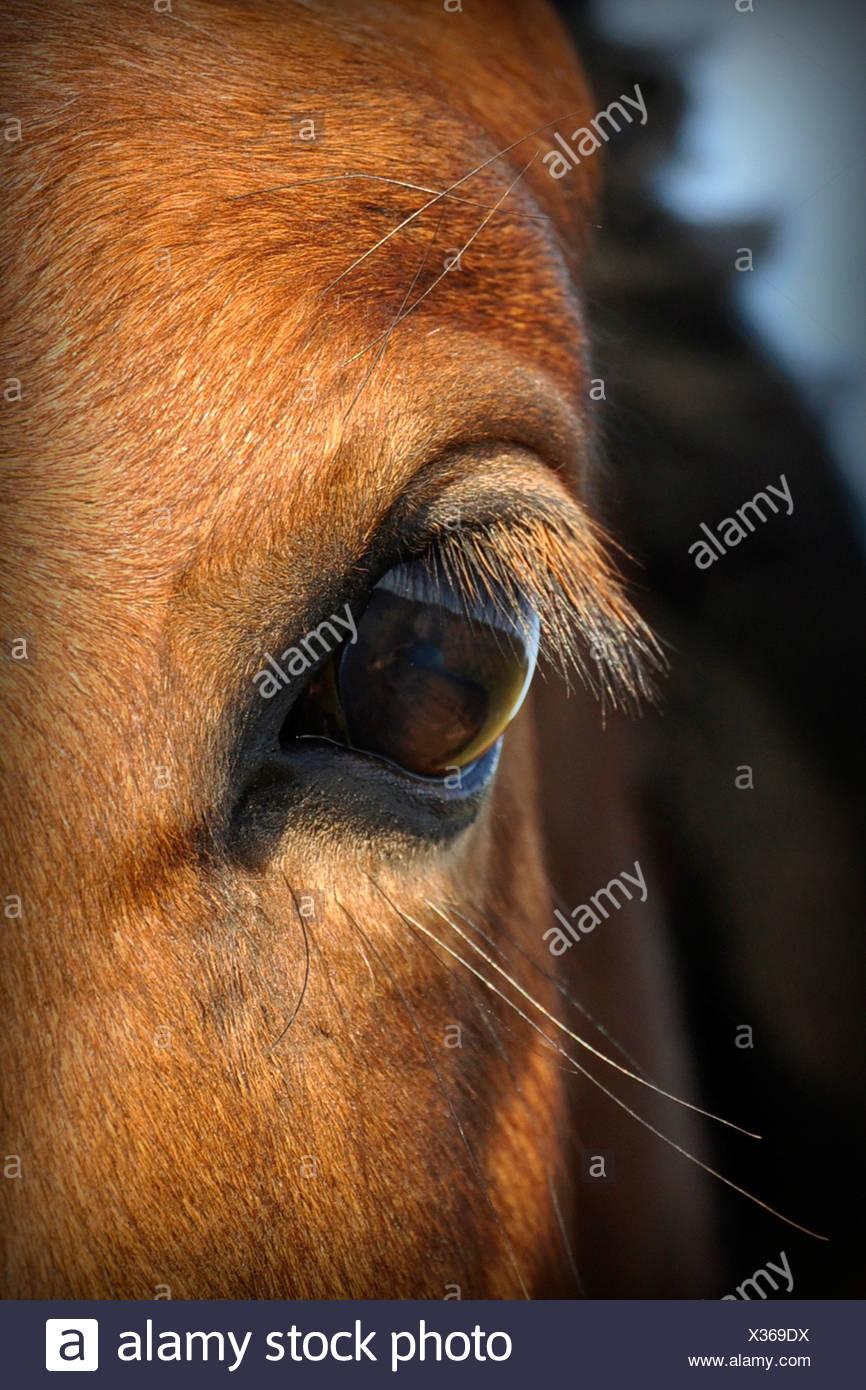 warm-blood horse - eye - Stock Image