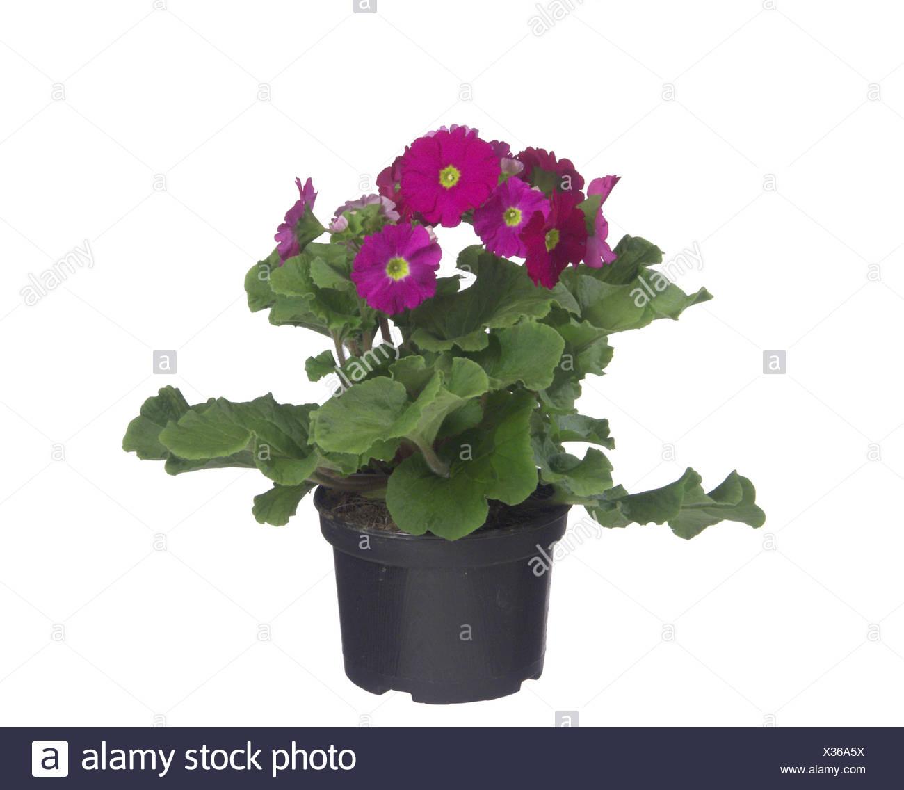 German Primerose, Poison Primerose (Primula obconica), potted plant - Stock Image