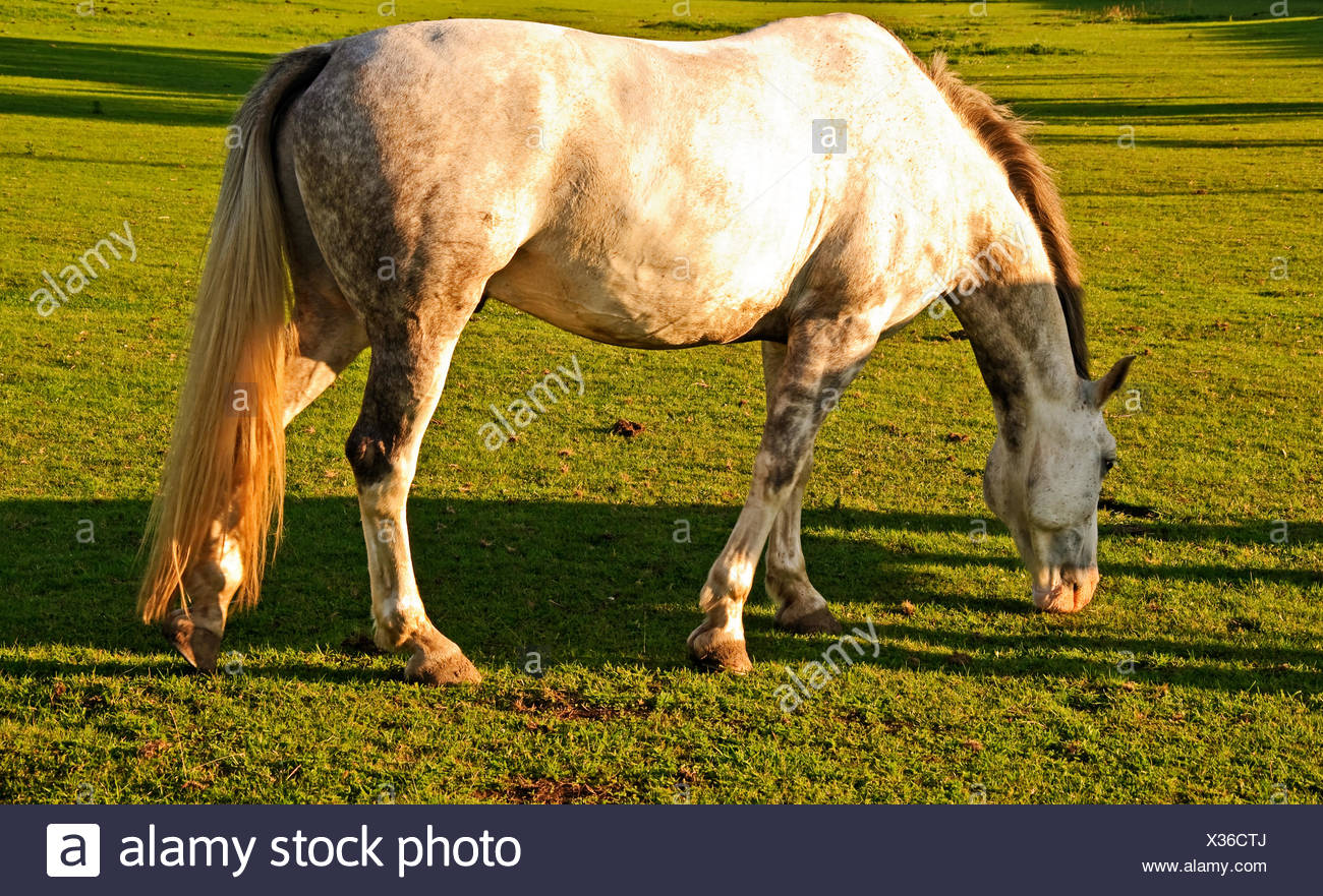 Horse feeding in a Chilterns field - Stock Image
