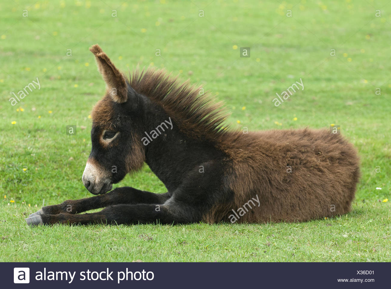 A donkey lying down in New Forest Wildlife Park. - Stock Image