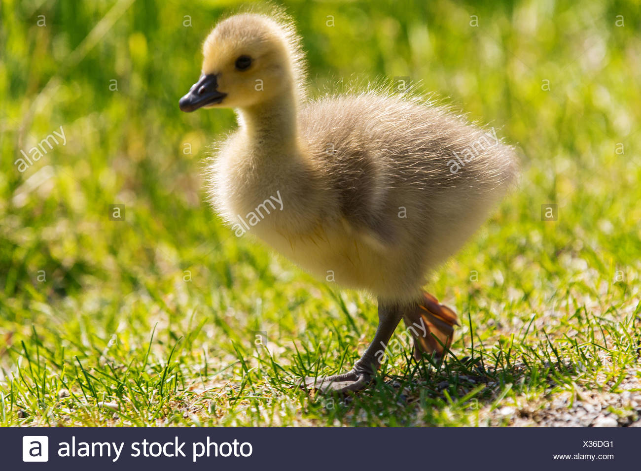 a goose fledglings on a meadow - Stock Image