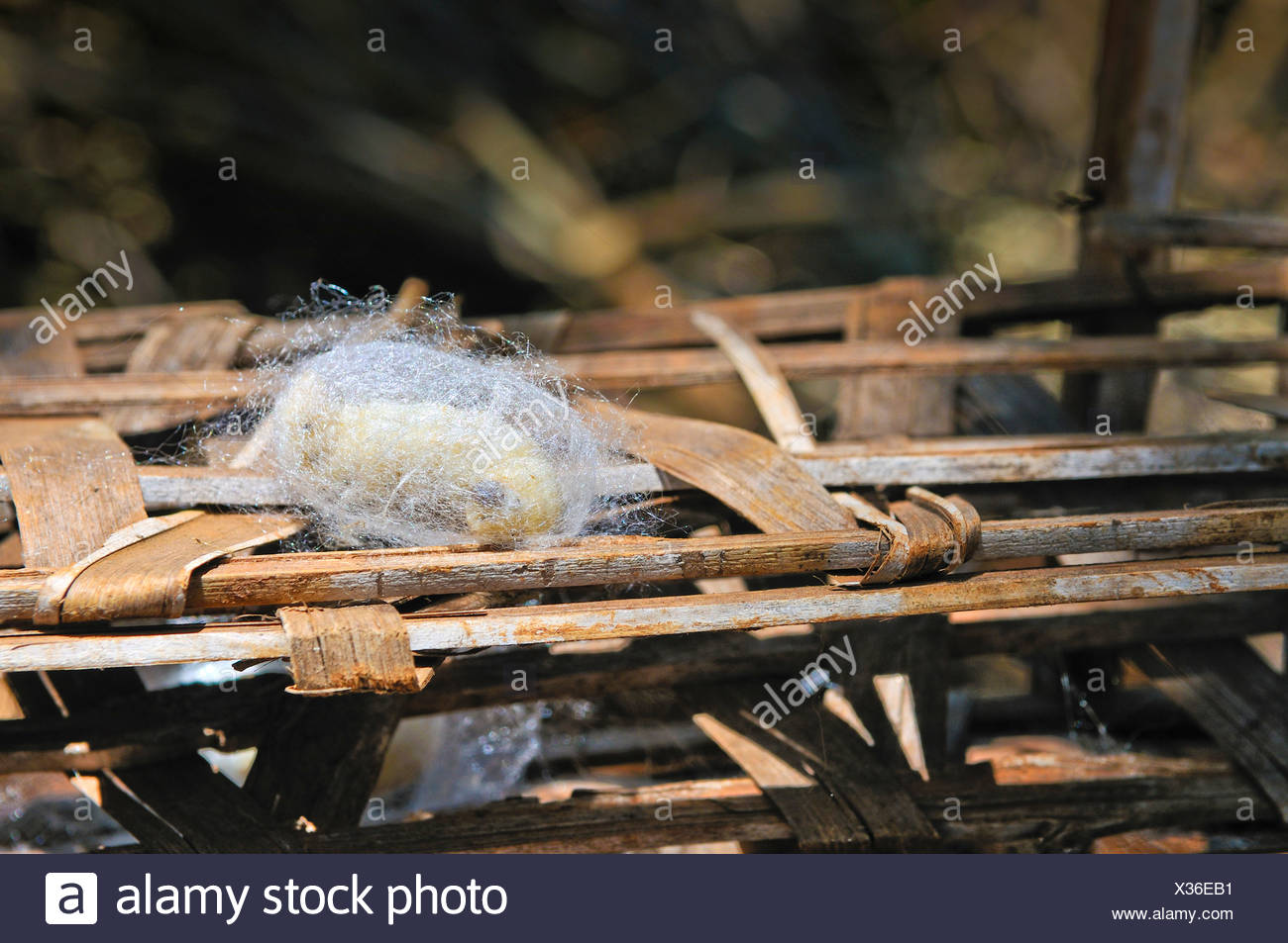 A silkworm (Bombyx mori) spins itself into a cocoon, sericulture, silk farming, Dalat capital, Central Highlands, Vietnam, Asia - Stock Image