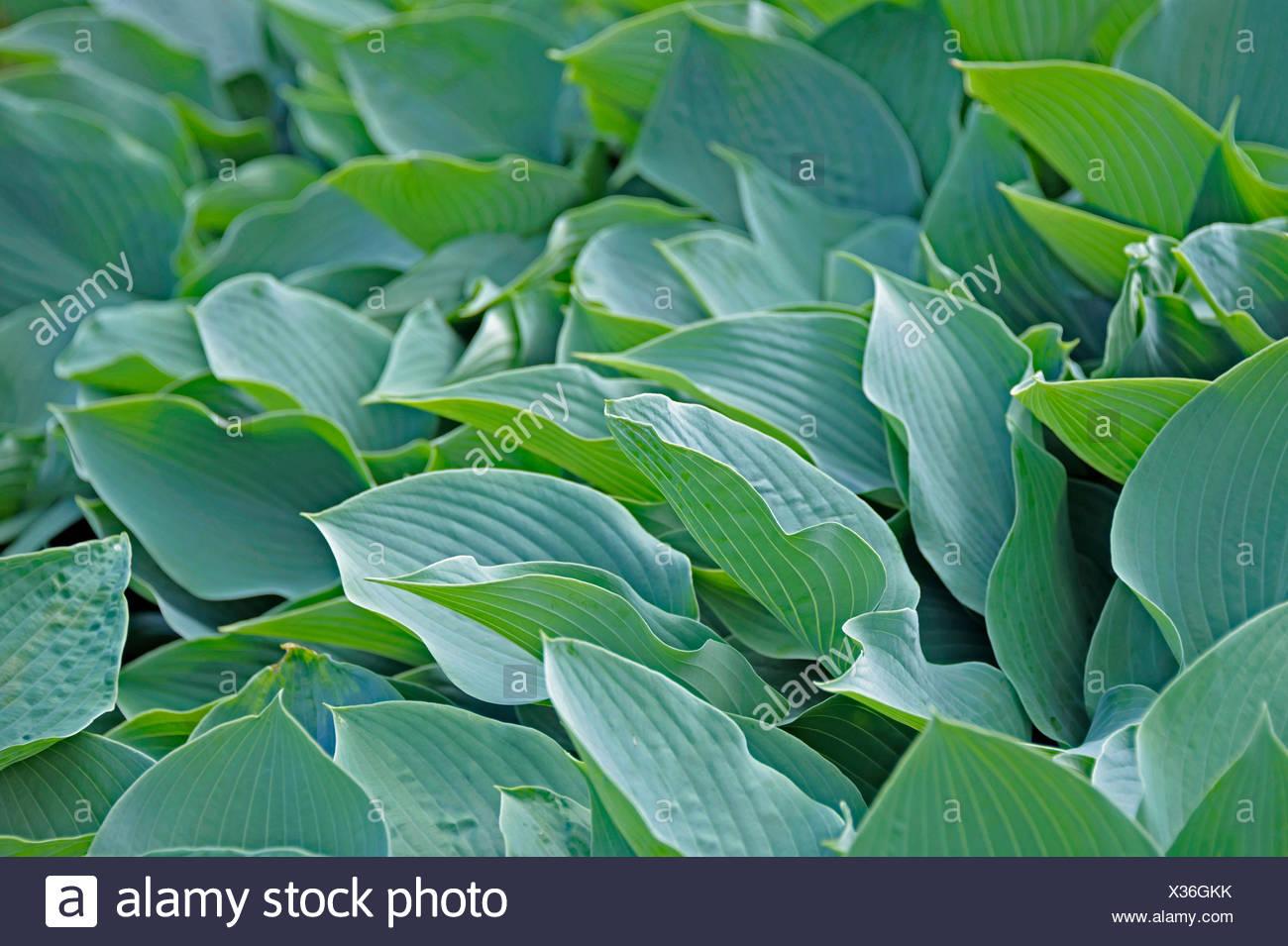 Plantain lily (Hosta 'Krossa Regal', Krossa Regal), leaves of cultivar Krossa Regal - Stock Image