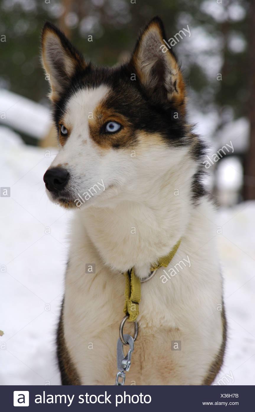 Blue-eyed Husky - Stock Image