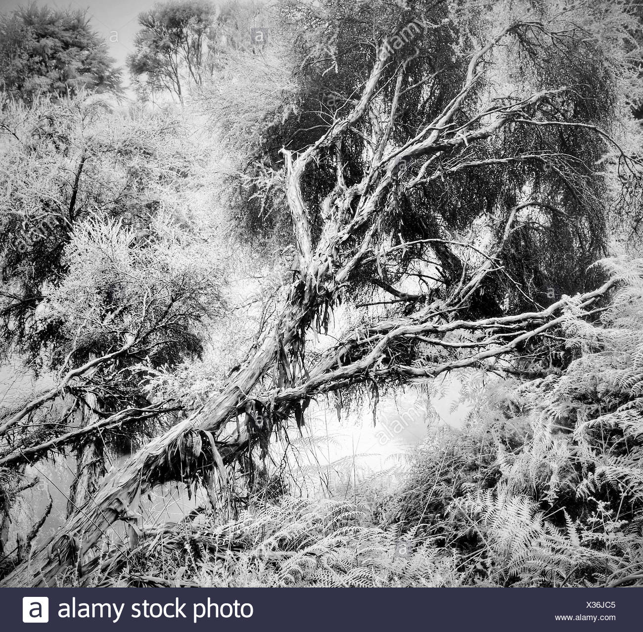 Rotorua,New Zealand,north island,tree,dead tree,jungle,rain forest,nature,primeval forest,black and white,Mystical,mo Stock Photo