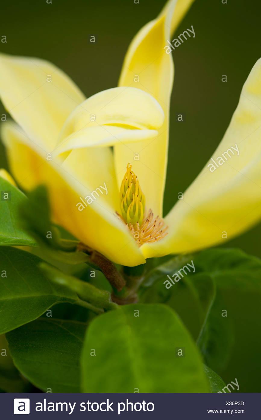 Magnolia 'Daphne' - Stock Image