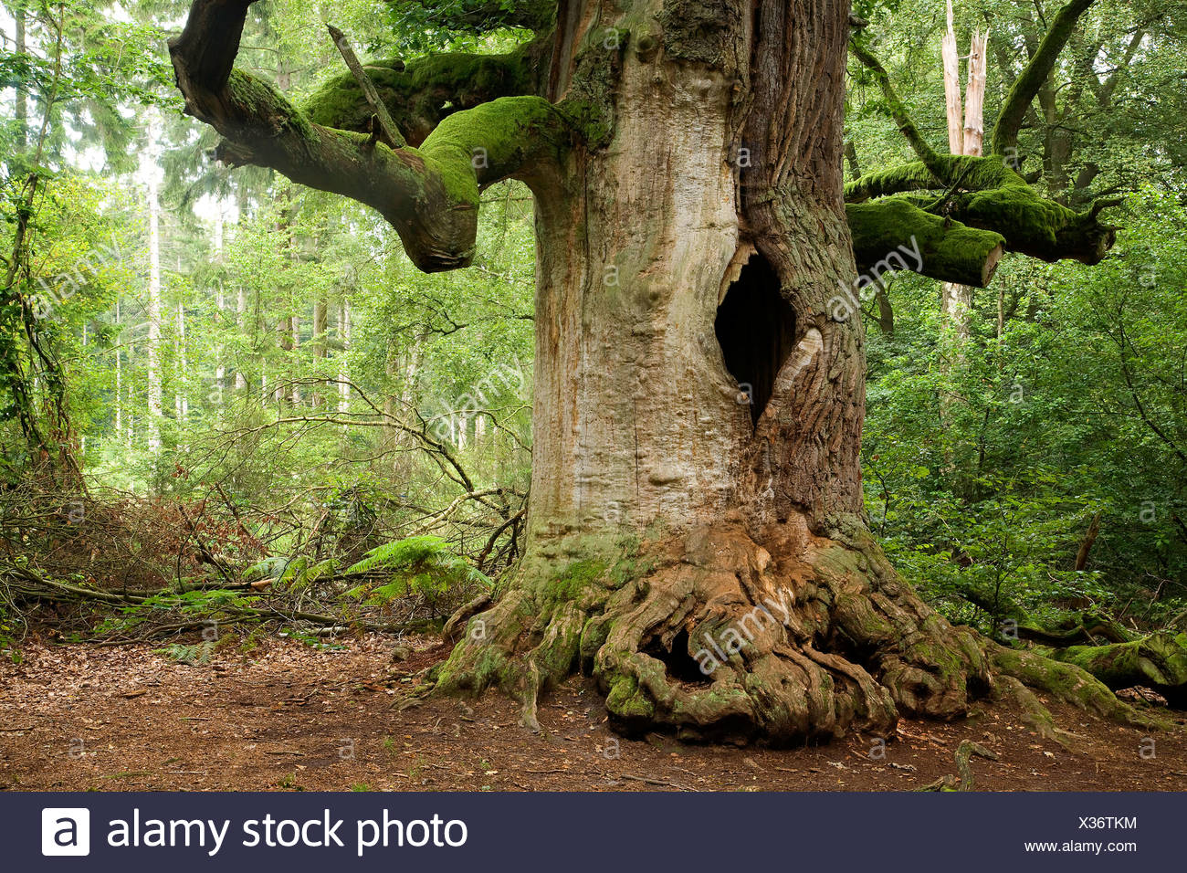 oak (Quercus spec.), old oak in Sababurg forest, Germany, Hesse - Stock Image