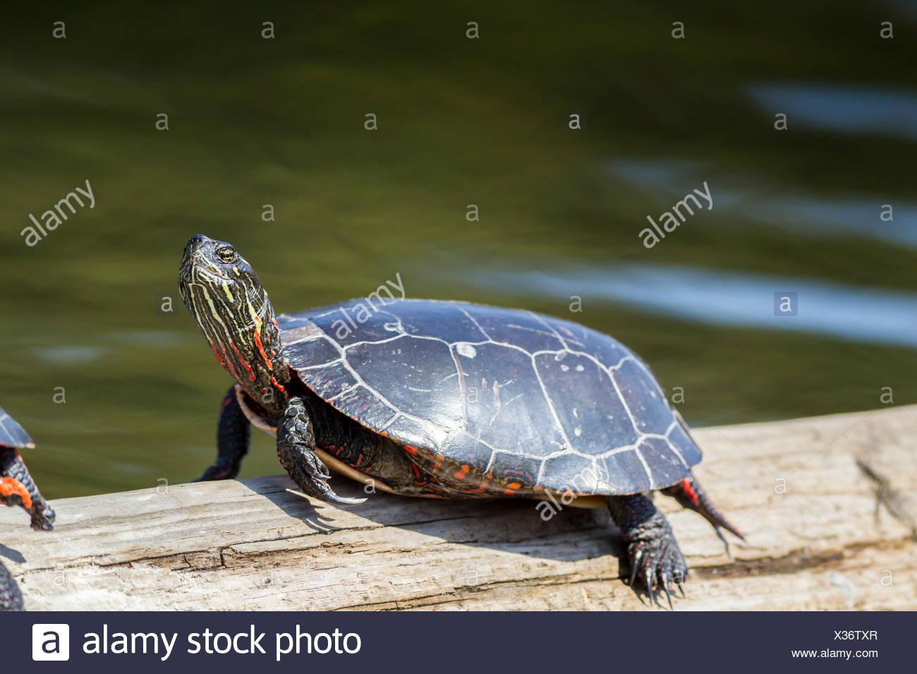Midland Painted Turtle (Chrysemys picta marginata) sunning, Killarney Provincial Park, Ontario - Stock Image